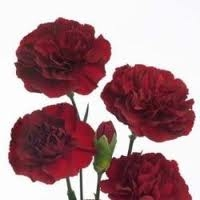Burgundy - Mini Carnations - 160 stems
