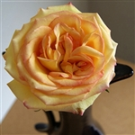 "Ambiance Bi-Color Rose 20"" Long - 100 Stems"