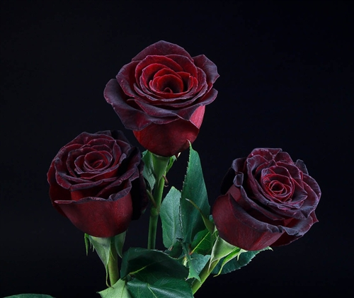 black baccara red rose 20 long 100 stems. Black Bedroom Furniture Sets. Home Design Ideas