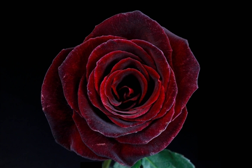 Quot Black Baccara Quot Red Rose 20 Quot Long 100 Stems