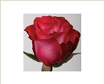 "Riviera Hot Pink Rose 20"" Long - 100 Stems"