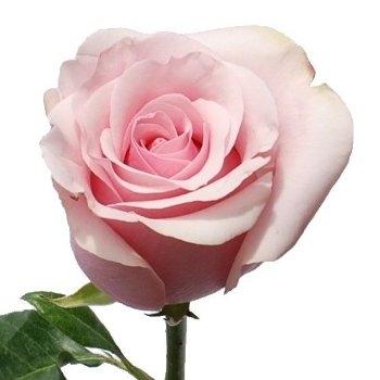 Titanic Light Pink Rose 20 Quot Long 100 Stems