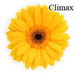 Climax Yellow Gerbera Daisies - 72 Stems