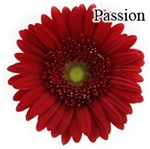 Passion Red Gerbera Daisies - 72 Stems