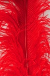 "19-24"" Ostrich Feathers - Red (Pack of 12)"